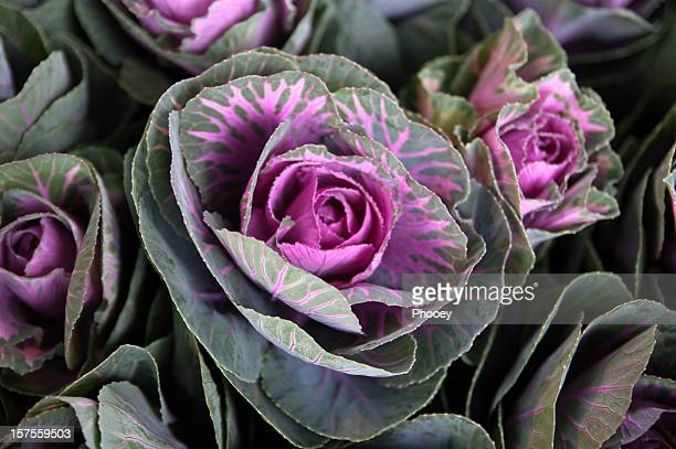 Cabbageflower