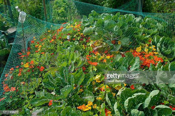 cabbages (brassica oleraca) and flowers under netting - vegetable garden stock pictures, royalty-free photos & images