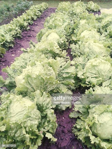 Cabbages Growing On Field
