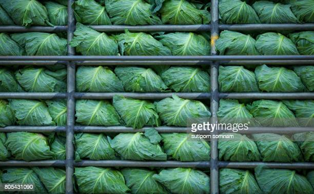Cabbages in frame