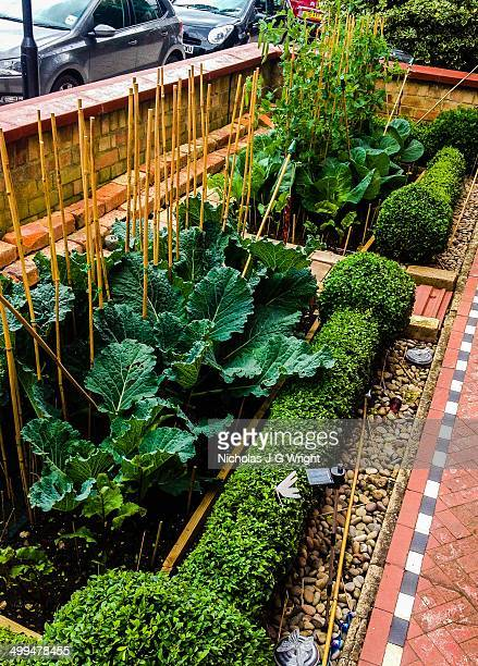 Cabbages peas and beet root growing in vegetable patch of front garden of house in SW London