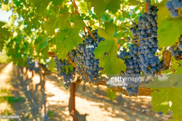 cabernet grapes growing on the vines, napa valley, california, usa - cabernet sauvignon grape stock photos and pictures