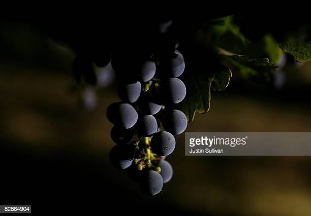 7 Cabernet grapes hang from the vine during a night harvest at St Supery Winery September 17 2008 in St Helena California Wineries in the Napa Valley...