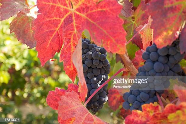 sobre vine cabernet uvas - cabernet sauvignon grape - fotografias e filmes do acervo