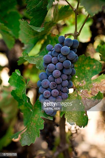 cabernet grapes - cabernet sauvignon grape stock photos and pictures