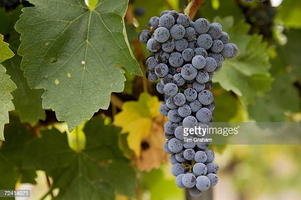 Cabernet Sauvignon grapes grow in the Pepper Tree Winery Hunter Valley Australia