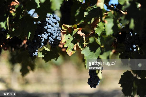 Cabernet Sauvignon grapes hang on a vine ready for harvesting at Treasury Wine Estates Ltd's Wolf Blass vineyards in the Barossa Valley Australia on...