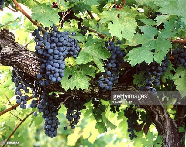 cabernet sauvignon grapes on the vine - cabernet sauvignon grape stock pictures, royalty-free photos & images