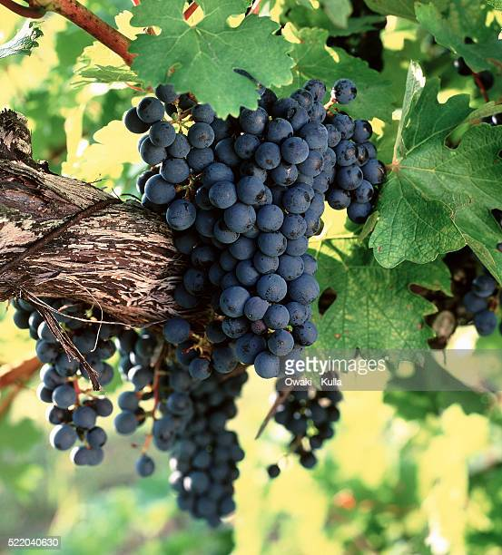 cabernet sauvignon grapes on vine - uvas cabernet sauvignon - fotografias e filmes do acervo