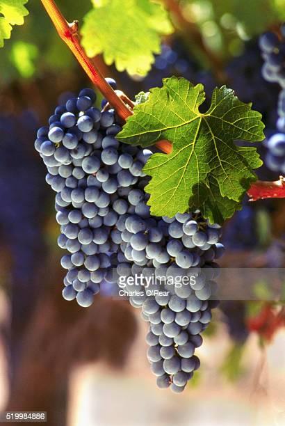 cabernet sauvignon grapes - uvas cabernet sauvignon - fotografias e filmes do acervo
