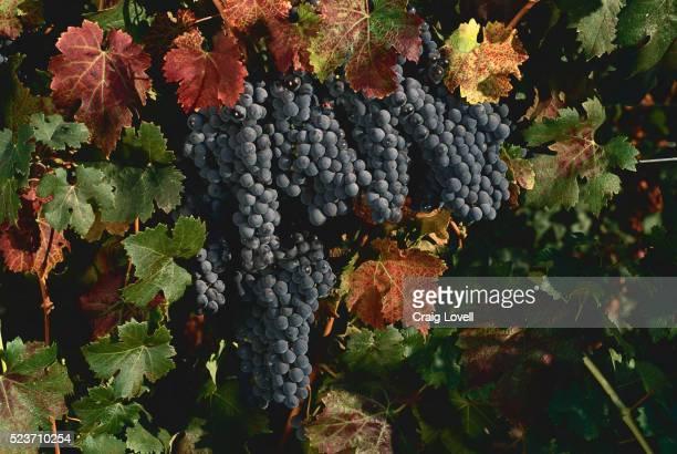 cabernet sauvignon grapes - cabernet sauvignon grape - fotografias e filmes do acervo
