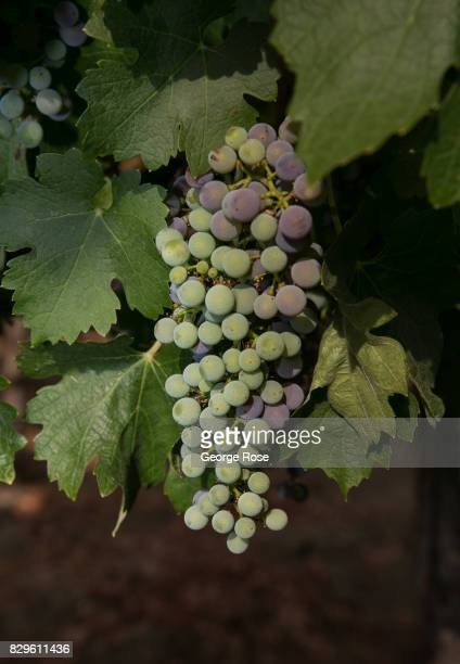 Cabernet sauvignon grapes ripen on the vine as viewed on August 3 near Geyserville California Following a record winter rainfall on the North Coast...