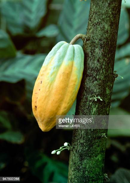 Cabosse sur un cacaoyer
