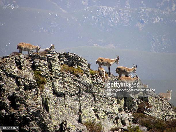 Cabras Montesas desde la cumbre del Pico Miravalle