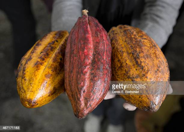 Cacao fruit held out to viewer