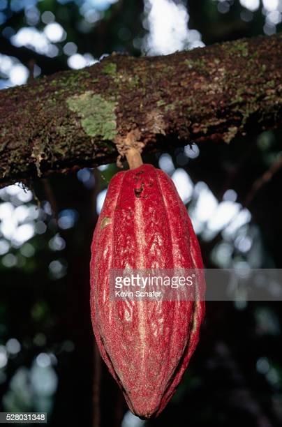 Cacao Fruit on Tree