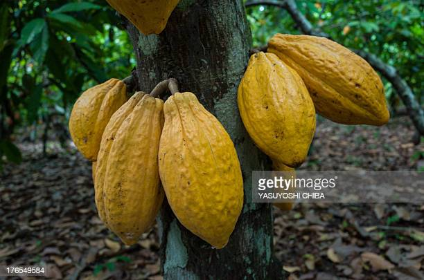 Cacao fruits on a tree in a farm in Sao Felix do Xingu Para state northern Brazil on August 7 2013 AFP PHOTO / YASUYOSHI CHIBA