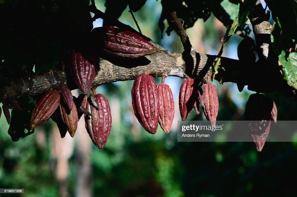 Cacao Fruits : Stock Photo
