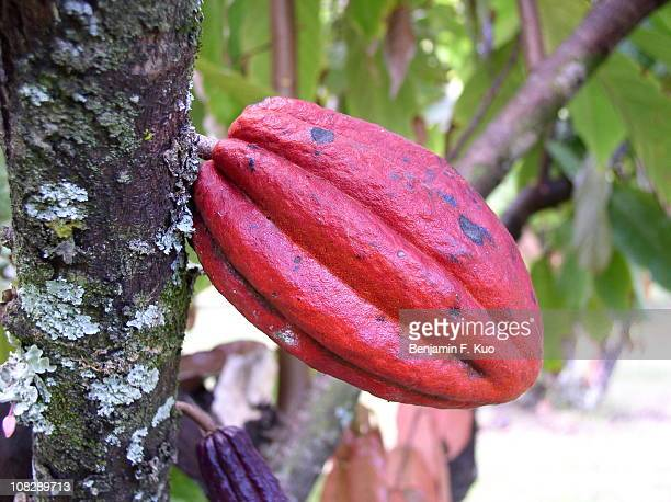 cacao - cacao tree stock photos and pictures