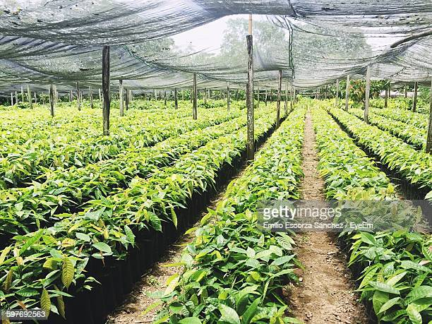 Cacao Plantation On Field
