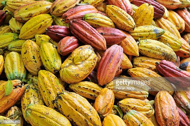 Cacao pod at harvest time, Bolivia, South America