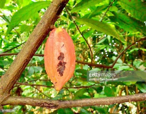 Cacao Pod Growing on Tree, Vietnam