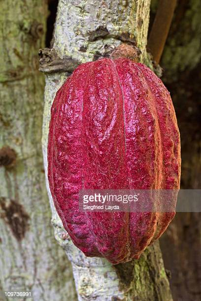 Cacao Pod on tree