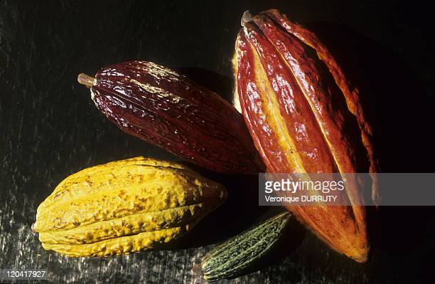 Cacao Pods at 4 Stages of Maturation in Paris France Cacao is a small evergreen tree in the family Sterculiaceae native to the deep tropical region...