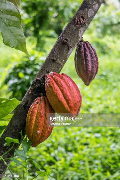 cacao pods hanging on a tree - cacao tree stock photos and pictures