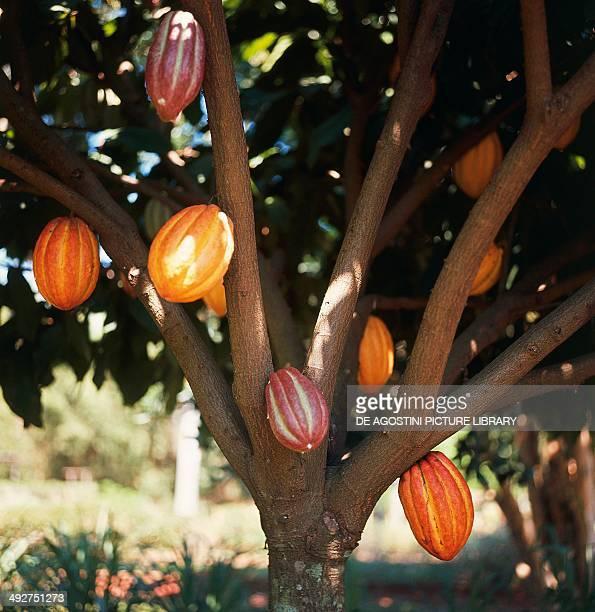 Cacao pods Malvaceae