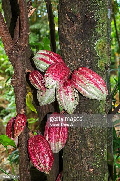Cacao pods on tree trunk
