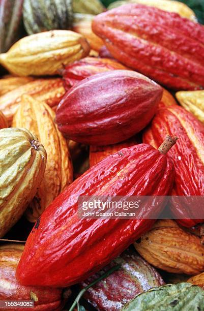 cacao pods - theobroma foto e immagini stock