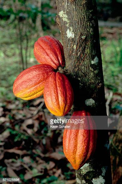 cacao pods - cacao tree stock photos and pictures