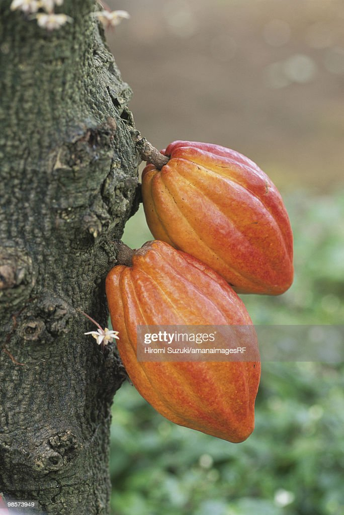 Cacao seeds growing, Saitama Prefecture, Japan : Stock Photo