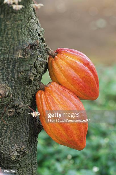 cacao seeds growing, saitama prefecture, japan - theobroma fotografías e imágenes de stock