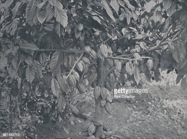 Cacao Tree' 1924 From The British Empire in Pictures by H Clive Barnard MA BLitt [A C Black Limited London 1924]Artist JS Fry Sons