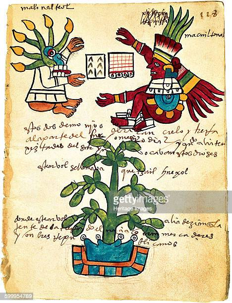 Cacao tree from the Codex Tudela 1553 Found in the collection of Museo de América Madrid Artist PreColumbian art