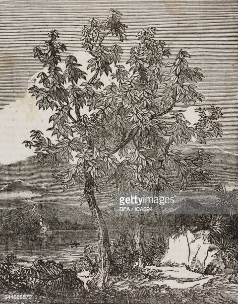 Cacao tree illustration from Teatro universale Raccolta enciclopedica e scenografica No 37 March 14 1835