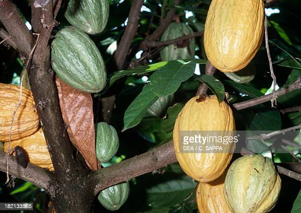 Cacao tree or Cocoa tree Malvaceae Togo Africa