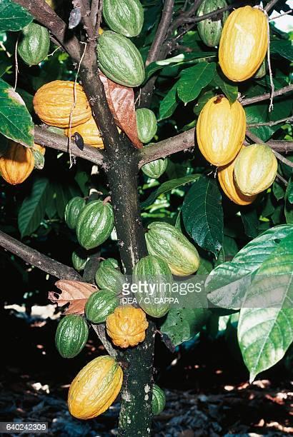 Cacao tree or Cocoa tree Sterculiaceae Togo