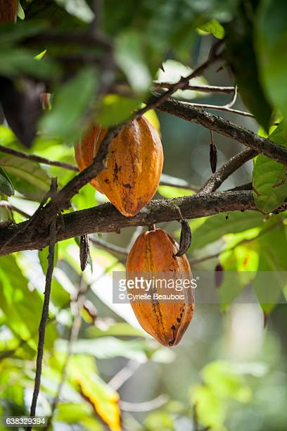 cacao tree - pinar del rio stock photos and pictures