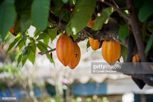 cacao tree - cacao tree stock photos and pictures
