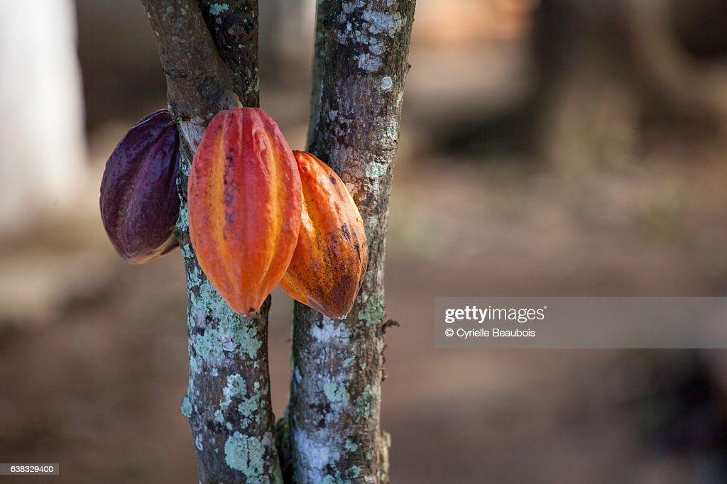 Cacao tree : Stock Photo