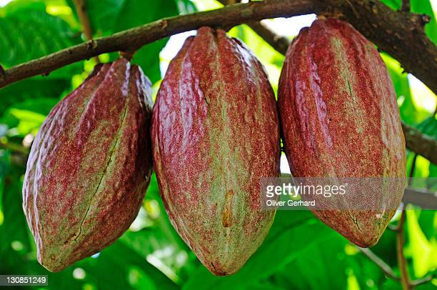 Cacao tree with fruit pods in La Fortuna, Costa Rica, Central America