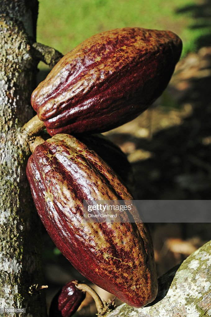 Cacao tree with fruit pods in La Fortuna, Costa Rica, Central America : Stock Photo