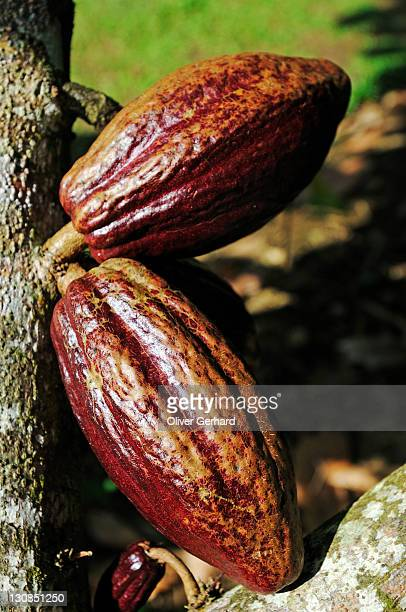 cacao tree with fruit pods in la fortuna, costa rica, central america - theobroma stock photos and pictures