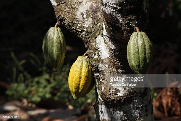 cacau - theobroma stock photos and pictures