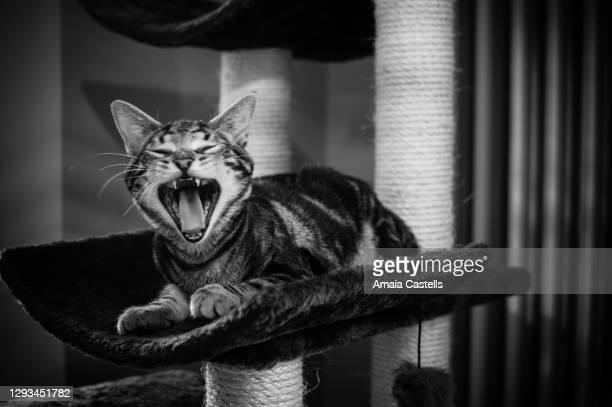 cachorro de gato bostezando en blanco y negro - blanco y negro photos et images de collection