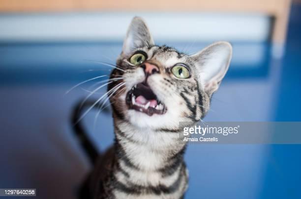 cachorro de gato maullando - 動物の行動 ストックフォトと画像