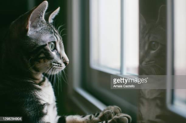 cachorro de gato mirando por la ventana - domestic cat stock pictures, royalty-free photos & images